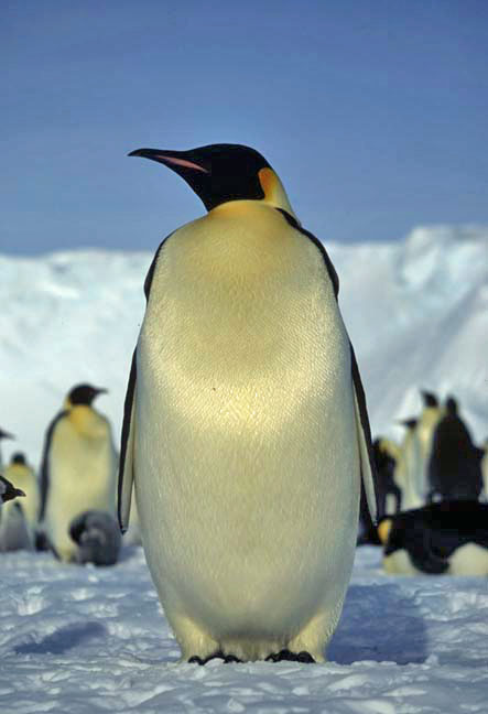 Emporer Penguin at Halley Research Station, Antarctica